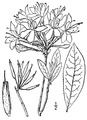 Rhododendron periclymenoides (Michx.) Shinners Pink azalea.tiff