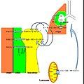 Riassorbimento bicarbonati e respirazione cellulare.jpg