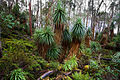 Richea pandanifolia.jpg
