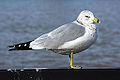 Ring-billed gull (Larus delawarensis), Windsor, Ontario, 2014-12-07.jpg