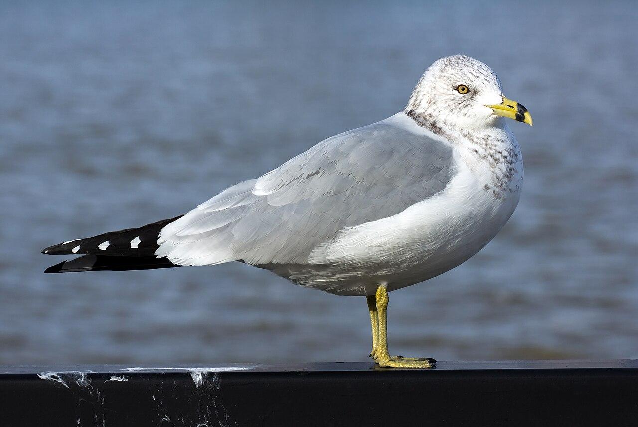 Larus Gull Ring Species Dwight