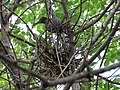 Rookery - 7 17 19 - Little Blue Herons still sitting on eggs at this late date - OH MY! (48319584662).jpg