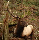 Roosevelt Elk at Northwest Trek.jpg