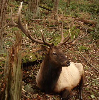 Roosevelt elk - Male (bull) at Northwest Trek, Washington, US