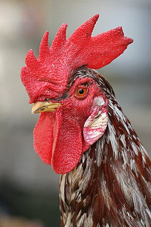 Chicken - In some breeds the adult rooster can be distinguished from the hen by his larger comb