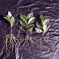 Rooted green cutings of Ulmus japonica 'Variegata'.jpg