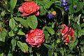 Rosa 'Benjamin Britten' - Flickr - S. Rae.jpg