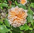 Rosa 'Tea Clipper' in Dunedin Botanic Garden 02.jpg