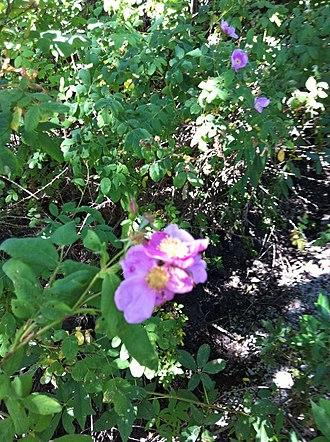 Purisima Creek (Santa Clara County) - Native California Wild Rose (Rosa californica) on Purisima Creek just above Elena Road in Los Altos Hills, California.