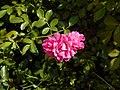 Rosa Lovely Fairy 2018-07-15 6147.jpg