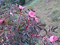 Rosa glauca inflorescence (14).jpg