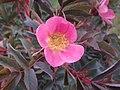 Rosa glauca inflorescence (15).jpg