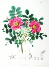 Rosa rugosa SZ28.png