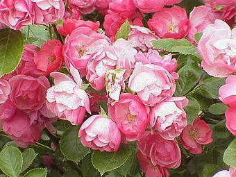 Rosa sp.33.jpg