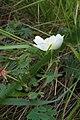 Rosa spinosissima inflorescence (39).jpg