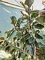 Rosales - Ficus elastica - 3.jpg