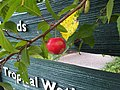 Rosales - Malus domestica - 10.jpg