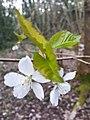 Rosales - Prunus cerasus - 12.jpg