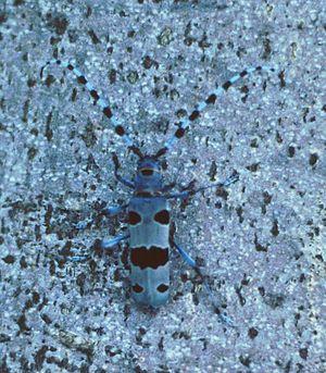 Rosalia longicorn - Rosalia longicorn in camouflage against a beech.