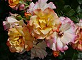 Rosarium Baden Rosa 'Bonanza' Kordes 1983 01.jpg