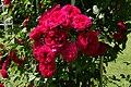 Rosarium Baden Rosa 'Chevy Chase' Hansen 1939 01.jpg