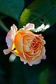 Rose, Manyo - Flickr - nekonomania (3).jpg