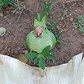 Rose-ringed parakeet baby fallen.jpg