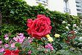 Rose @ Square d'Alleray Labrouste-Saint-Amand @ Paris (33989488633).jpg