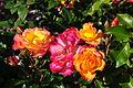 Rose Bonanza.JPG