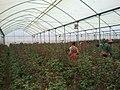 Rose Greenhouse.jpg