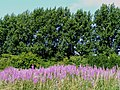 Rosebay willowherb and poplars at New Mill - geograph.org.uk - 1401520.jpg