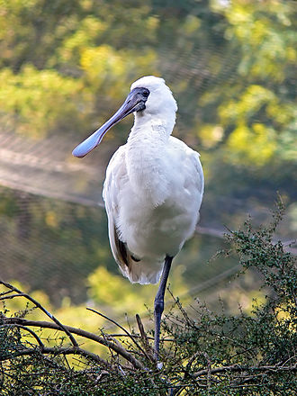 Threskiornithidae - Royal spoonbill