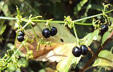 220px-Rubia_Cordifolia_13.JPG