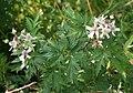 Rubus laciniatus 06.jpg