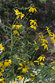 Rudbeckia laciniata GotBot 2015 003.jpg