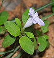 Ruellia prostrata syn Dipteracanthus prostrata (bell weed or black weed) in Talakona forest, AP W IMG 8316.jpg