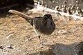 Rufous-crowned Sparrow Santa Rita Lodge Madera Canyon AZ 2018-02-17 15-58-34-2 (39688195965).jpg