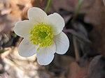 Ruhland, Grenzstr. 3, Weißes Buschwindröschen im Garten, Blüte, Frühling, 01.jpg