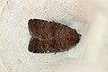 Rusina ferruginea (19249628232).jpg