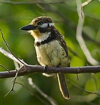 Russet-throated Puffbird (Hypnelus ruficollis).jpg