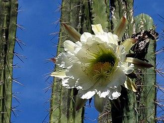 Echinopsis peruviana - Image: Säulenkaktus Blüte