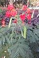 SZ 深圳 Shenzhen 羅湖 Luohu District Wenjin North Road 洪湖公園 Honghu Park Dec-2017 IX1 紅蝴蝶 Caesalpinia pulcherrima 番蝴蝶 洋金鳳 黃蝴蝶 豆科 蘇木屬 red flowers green leaves plant 13.jpg