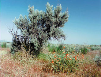 Artemisia tridentata - Sagebrush habitat in Eastern Washington.