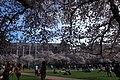 Sakura @ University of Washington, Seattle (6909848962).jpg
