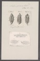 Salpa zonaria - - Print - Iconographia Zoologica - Special Collections University of Amsterdam - UBAINV0274 092 08 0016.tif