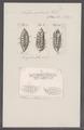 Salpa zonaria - - Print - Iconographia Zoologica - Special Collections University of Amsterdam - UBAINV0274 092 08 0016.tif