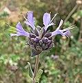 Salvia clevelandii 3.jpg