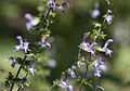 Salvia forsskaolei 2.jpg