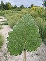 Salvia sclarea sl5.jpg