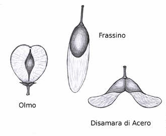 Wind dispersed seed of elm (Ulmus), ash (Fraxinus) and maple (Acer) Samara olmo frassino acero.png